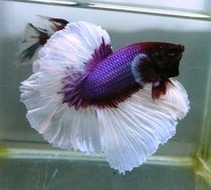 1000 images about animals on pinterest betta betta for Purple betta fish for sale