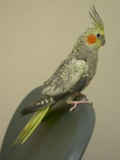 Looks like our Cheeper Cockatiel, Parrots, Animal Pictures, Birds, Club, Pearls, Animals, Images Of Animals, Animaux
