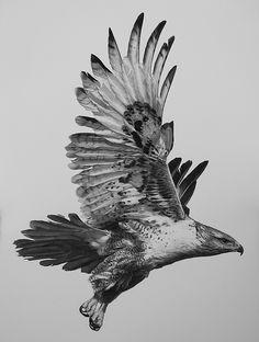 Ferruginous Hawk by William Harrison Wolff Carbon Pencil