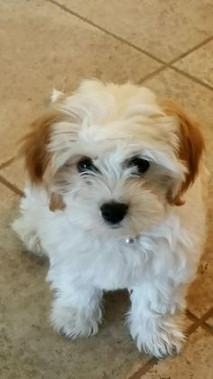 Cavatons are the cutest!!! Non-shedding, 1/2 Coton de Tulear, and /2 King Charles Cavalier Spaniel. From Dandelion Farm's Cotons and Cavaliers.