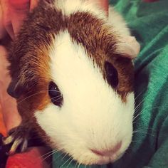 Can Guinea Pigs Eat Celery? Baby Guinea Pigs, Guinea Pig Toys, Guinea Pig Care, Guinnea Pig, Pig Showing, Pigs Eating, Guinea Pig Bedding, Teacup Pigs, Show Cattle
