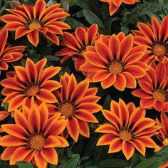 Гацания-Big-Kiss-Orange-Flame
