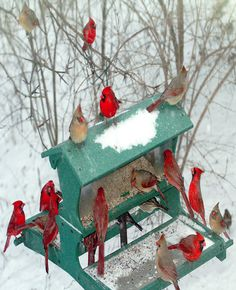 Cardinals in a meeting at the feeding station