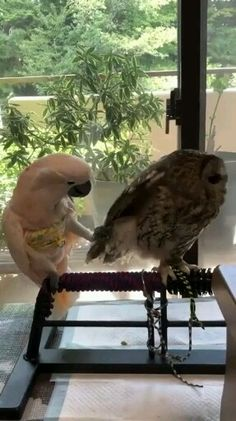 Funny birds video can t stop laughing funny owl funny parrot funny pets compilation what do you want from me funny animals funnybirds funnyparrot funnyolw petlovers humor funny memes animal animals pet Funny Parrots, Funny Owls, Funny Birds, Cute Birds, Cute Funny Animals, Cute Baby Animals, Animals And Pets, Cute Animal Videos, Funny Animal Pictures