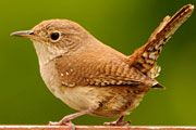 Dad called to ask for help figuring out what sort of entertaining birds he had in the yard. We're pretty sure they're house wrens.