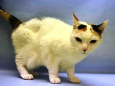 MONGO – A1099558 - 15yrs CALICO, FRIENDLY & SWEET. SPAYED FEMALE, CALICO, DOMESTIC SH MIX - CAME IN WITH GIZMO