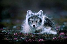 What a beauty! The arctic fox is the only native terrestrial mammal in Iceland. The Arctic Fox Centre in the Westfjords is dedicated to their research. Beautiful Creatures, Animals Beautiful, Fuchs Baby, Wolf Hybrid, Baby Animals, Cute Animals, Wild Animals, Cat Dog, Arctic Fox