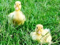 Raising Ducks or Chickens - 10 reasons why raising ducks might be a better choice. (I'm sold!)