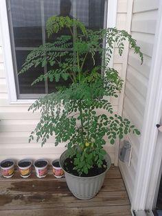 """Grow Vegetables Why Everyone Should Grow a Moringa Tree. """"Moringa leaves contain: Moringa Benefits, Moringa Leaves, Health Benefits, Vegetable Garden, Garden Plants, Indoor Plants, Container Gardening, Moringa Oleifera, Gardens"""