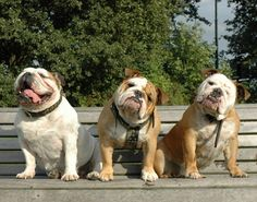 ❤ Two out of three question the motive LOL ❤ Posted from I love English Bulldogs