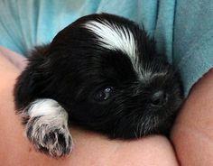 Shih Tzu puppy.  #puppy #dog #shihtzu