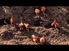 Geoff Lawton has a brand new video out, plus he is gearing up for more videos and another online PDC.  This video is about raising chickens without buying them grain.  On this link you can see a 3-minute intro, then there is a link to full-length video.  It's free if you fork over your email address (and Geoff has been responsible with email stuff):