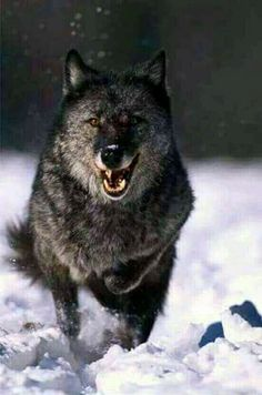 Baboon vs Leopard vs Python vs Crocodile Wild Animals Must Watch! Wolf Images, Wolf Pictures, Wolf Spirit, My Spirit Animal, Beautiful Creatures, Animals Beautiful, Wolf Eyes, Wolf Husky, Wolf Love