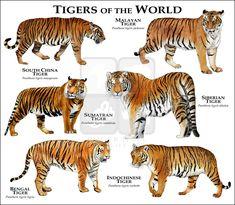 Tiger Species, Animal Species, Especie Animal, Animal Facts, Panthera Tigris Altaica, Most Endangered Animals, Extinct Animals, Animals And Pets, Cute Animals