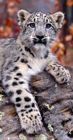 Snow Leopard Cub 1600 X 1200 Ooooo Animals