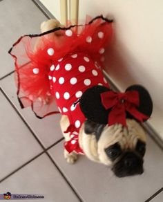 Ashley: My pug Molly is wearing a homemade minnie mouse costume. This was inspired from 2 disney ornaments we have. The bodysuit is from a baby clothes store and I cut...