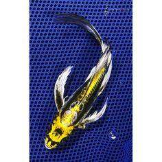 1000 images about fish stuff on pinterest butterfly koi for Yellow koi fish for sale