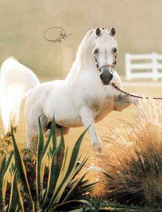 Majestic Grey Arabian Stallion