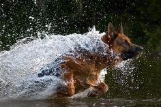 German shepherd in action.