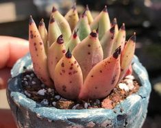 Rare Succulent - Echeveria 'Ebony' x cuspidata