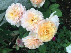 David Austin's Grace Rose