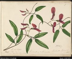 Paty, D. E. (Dorothy English), 1805-1836. Kennedia rubicunda