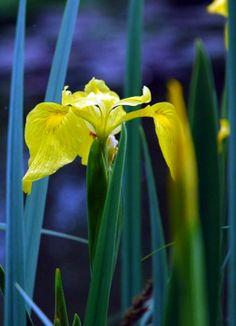 In Monet's Giverny Garden. Descendents of the irises Claude Monet painted. photo: Ning CS de Guzman.