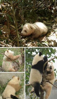 qinling panda pictures China's famous Giant Pandas are always black & white, right? A rare genetic mutation can result in otherwise normal pandas displaying brown & tan coats. Animals And Pets, Baby Animals, Cute Animals, Wild Animals, Panda Love, Cute Panda, Beautiful Creatures, Animals Beautiful, Wild Animal Rescue