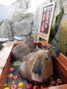 What is happening here? Animals in Japan love hot springs, too!