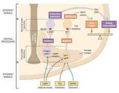Neurohumoral mechanism _02 #obesity