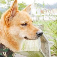 自從生活裡有了來恩, 我終於知道世上有種愛,是毫無保留地…………瞪妳。 究竟為什麼這麼愛瞪我啦?😢 如果不是前幾天姐生病狂吐, 你還會從睡夢中起來,站在廁所門口等我吐完再去睡。 我還真的以為你不愛我啊!  #狗 #犬 #米克斯 #可愛 #萌 #可愛い #愛犬 #生活 #日常 #dog #mydog #doglife #dogofinstagram #dogsofinsta #mutt #cute #cutedog #lovelydog #lovely #kawaii #moe #funny