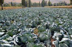 """Dev lahanaların hasadına başlandı.   Türkiye'nin en büyük dördüncüsü ovası olan Elbistan Ovası'nda yetiştirilen ve ağırlığı 40 kilograma kadar ulaşan """"Elbistan Lahanaları""""nın hasadına başlandı."""