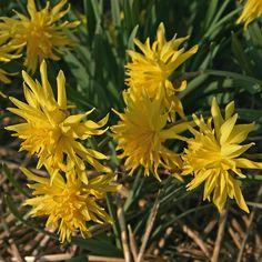 Unglaublich, aber 'Rip van Winkle' ist tatsächlich eine Narzisse. Ihre gelben Blütenblätter stehen spitz zu allen Seiten und leuchten in der Frühlingssonne. Pflanzzeit ist im Herbst - online erhältlich bei www.fluwel.de