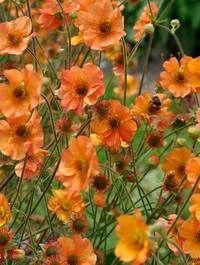 flower garden care Garten-Nelkenwurz Geum x heldreichii Sigiswang Garden Care, Garden Beds, Garden Plants, Garden Edging, Cactus Plante, How To Attract Hummingbirds, Summer Flowers, Orange Flowers, Orange Pink