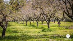 Digital Product Thumbnail - Almond Trees Blossom at Quinta de Molinos Public Park in Madrid Spain Madrid, Spring Pictures, Spring Photography, Travel Images, Spring Time, Spain, Public, Country Roads, Explore