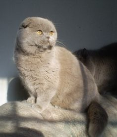 Scottish Fold Kitty!