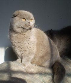 Scottish Fold Kitty!