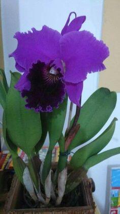 Cattleya Labiata Rubra Sheller - My site Orchids Garden, Orchid Plants, Exotic Plants, Rare Orchids, Purple Orchids, Purple Flowers, Unusual Flowers, Amazing Flowers, Flowers Nature