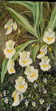 marianne north (brazil)... Two Tropical American Flowers