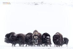 https://flic.kr/p/LjXyTu | Muskoxen | Ovibos moschatus - Bue muschiato, Muskox   Dovrefjell NP, Norway