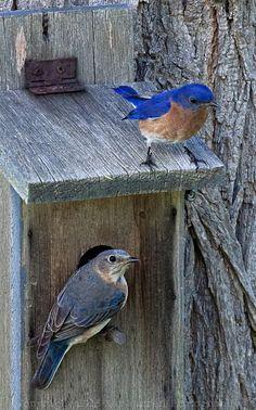 Loooooooooove this of the 2 bluebirds!!!!!!