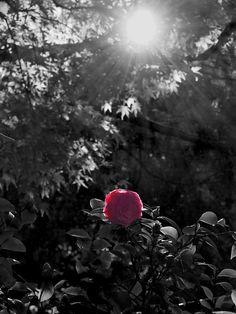 Pink Rose Color Splash ♥