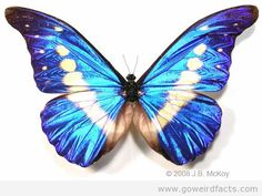 MorphoHelena's shape and color areincomparable, the entire wings like the blue sky set with a bunch ofbrighthalo, V-shaped, whole body shows a nice purple blue color.