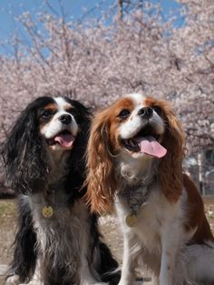 Cavalier King Charles Spaniels : they breathe happiness! Cavalier King Charles, Cavalier King Spaniel, King Charles Puppy, Spaniel Dog, King Charles Spaniel, Cute Puppies, Cute Dogs, Dogs And Puppies, Doggies