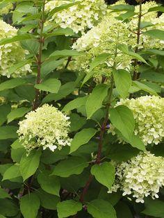 Vipphortensia 'Limelight'*, stamträd