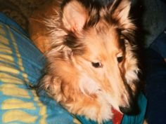 Shelby the final week before crossing the rainbow bridge in May 1997. Stomach cancer returned. 3 months after her surgery. She was so stoic and a brave dog. One of the sweetest Shelties I've known. Miss you Shelby. My first Sheltie.