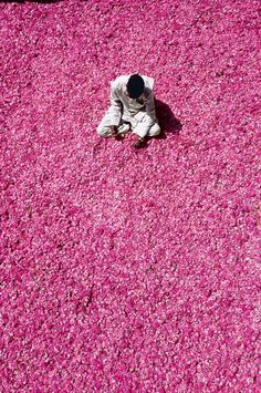 Collecting rose petals & rose hips for attar (perfume)