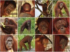 [PRESS RELEASE] The BOS Foundation in Nyaru Menteng Release 12 Orangutans in Commemoration of Earth Day | BOS Foundation