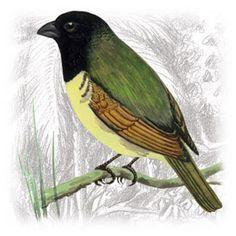 Baiano (Sporophila nigricollis)