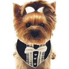 tuxedo dog scarf   Tooo funny! Ponytail is so funny!